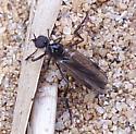 True Fly on the Ground - Penthetria heteroptera - male