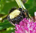 California bumblebee on clover - Bombus californicus