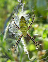 Black and yellow spider - Argiope trifasciata