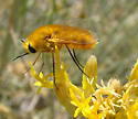 Lordotus sp.  - Lordotus zona - female