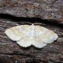 911098Cabera erythemaria - Cabera erythemaria - male