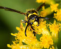 Mason Wasp, possibly Ancistrocerus  - Ancistrocerus campestris