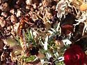 Unknown wasp? - Sphecius grandis