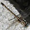 Serpent Ringtail - Erpetogomphus lampropeltis - female