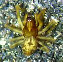 Emblyna cf. serena - Emblyna olympiana - male