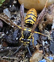 Vespula maculifrons - Eastern Yellowjacket - Queen? - Vespula maculifrons - female