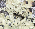 Ant walking on lichen - Formica subsericea - female