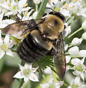 Bumblee Bee for ID - Xylocopa virginica