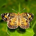 Phaon Crescent Butterfly - Phyciodes phaon