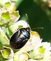 Beetle - Sehirus cinctus