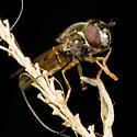 Hover Fly? - Platycheirus