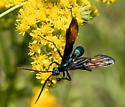 Tarantula Hawk Wasp (Pepsis?) - Pepsis