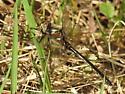 American Emerald Dragonfly ? - Cordulia shurtleffii