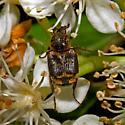 Beetle 2011_04_21_1117 - Valgus canaliculatus - male