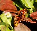 European hornet - Vespa crabro - male