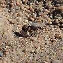 White Velvet Ant (?) in Joshua Tree National Park - female
