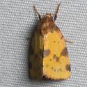 Obtuse Yellow  - Azenia obtusa