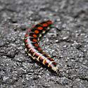 Long Red Spotted Beetle Larvae - Phengodes