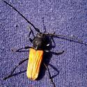Cerambycid Beetle - Tragidion coquus