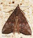 Moth - Hypena scabra