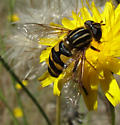Hover Fly - Helophilus