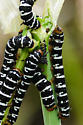 Caterpillar group on lily in Louisiana bayou (March) - Xanthopastis regnatrix