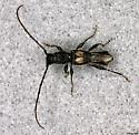 Longhorn Beetle found on Dogwood - Molorchus bimaculatus - male