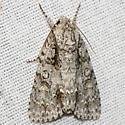 Clear Dagger Moth - Hodges #9246 - Acronicta clarescens - female