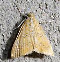 Glaphyria sequistrialis - Glaphyria sesquistrialis