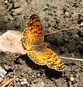 Mylitta Crescent? - Phyciodes mylitta - male
