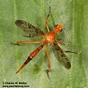 Fly - Stenopyrgota mexicana - female