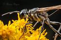 Thread-waisted wasp - Ammophila cleopatra