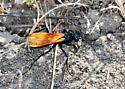 Tarantula hawk on the hunt - Pepsis thisbe - female