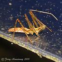Zelus nymph - Zelus luridus