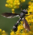 Wasp Mimic Fly? - Physocephala tibialis - female