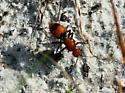 monster ant looking - Dasymutilla occidentalis