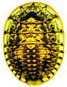 Psephenidae - Psephenus falli