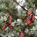 mystery bug - Thasus neocalifornicus