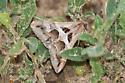 moth - Melipotis cellaris