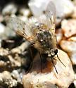 Lordotus planus - female