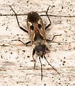 dirt-colored seed bug - Rhyparochromus vulgaris