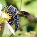 Wasp - Coelioxys dolichos - female