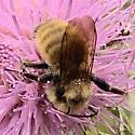 Bumblebee - mostly yellow - Bombus