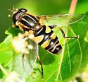 Syrphidae - Syrphid Flies - Helophilus fasciatus