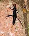 Beetle Larva? - Galerita