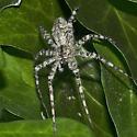Spider 7062-06162016 - Dolomedes albineus