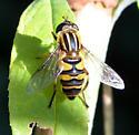 Helophilus fasciatus? - Helophilus fasciatus
