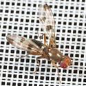 Chymomyza amoena? - Geomyza tripunctata