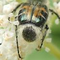 Beetle - Trichiotinus viridans