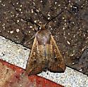 Armyorm Moth  - Mythimna unipuncta
